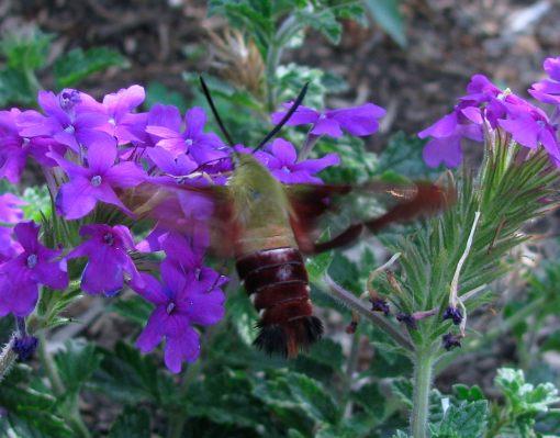 Hummingbird moth (Hemaris spp)