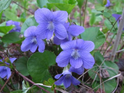 Violet (Viola spp)