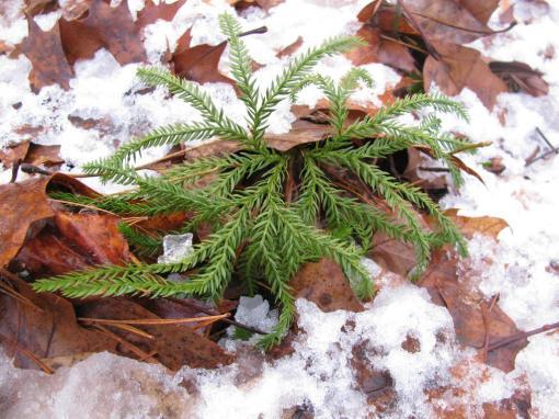 Groundpine (Lycopodium)