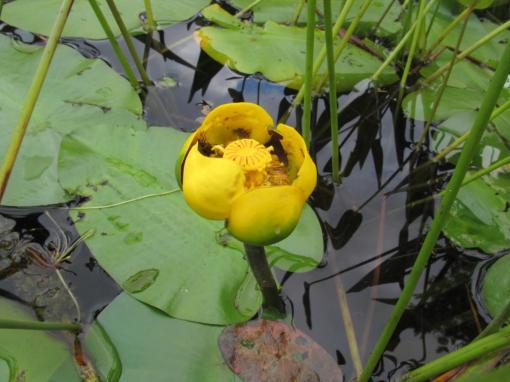 Bullhead lily (Nuphar lutea)